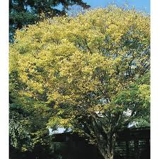 Green Vase Japanese Zelkova Shop 6 Gallon Japanese Zelkova Shade Tree L7761 At Lowes Com