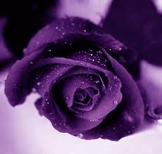 color roses beauty flower purple color meanings