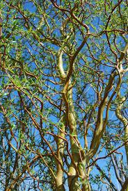 ornamental trees planters choice