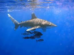 oceanic whitetip shark wikipedia