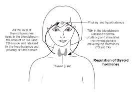 thyroid and parathyroid glands thyroid disorders patient