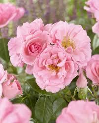 bantry bay climbing rose