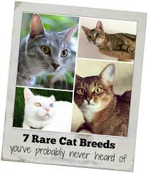 7 rare cat breeds you u0027ve probably never heard of holy meow