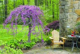 don t cry for me weeping redbud gardens landscaping and yards
