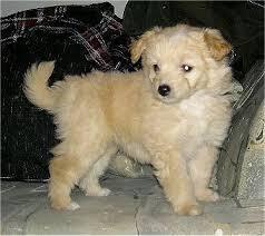 american eskimo dog breeders lisa the 8 week old eskapoo puppy american eskimo dog poodle