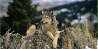 the war on wolves delisting disaster defenders of wildlife