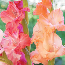gladiolus flowers gladiolus planting guide easy to grow bulbs