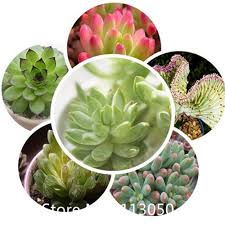 Small Desk Plants Garden 200pcs Bag Succulent Plant Seeds Indoor Office Small