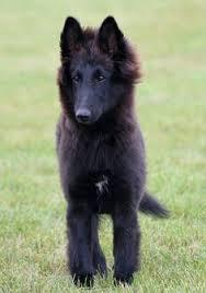 belgian shepherd x greyhound belgian shepherd dog gronendael groenendaeler pinterest