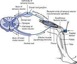 Knee Reflex Arc The Neurologic System Clinical Gate