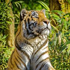 tiger in the jungle free stock photo domain pictures