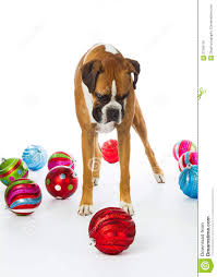boxer with ornaments stock image image 27769175