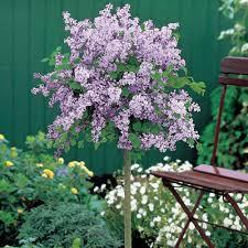 shrubs for sale uk u2013 buy garden shrubs van meuwen
