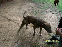 american pitbull terrier game bred bloodlines game bred page 3 pitbulls go pitbull dog forums