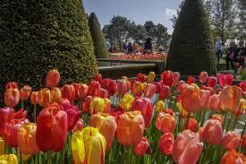 keukenhof flower gardens tulip festival amsterdam tulip festival amsterdam
