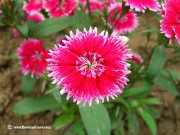 dianthus flower dianthus flower picture
