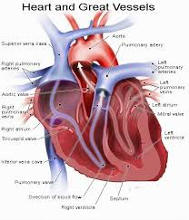 Sheep Heart Anatomy Quiz Human Anatomy And Physiology Diagrams Heart And Great Vessels