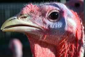 turkey up turkey up by duffygraham on deviantart