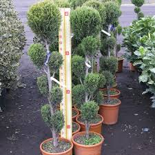 Topiary Cloud Trees - cupressocyparis leylandii u0027blue jeans u0027 cloud tree 10 litre pot
