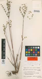 towards a review of the genus petrosedum crassulaceae taxonomic