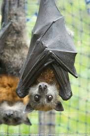 1064 best bats u0026 fledermäuse images on pinterest baby bats bats
