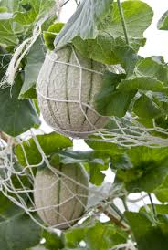 potted melon care u2013 how to grow cantaloupes in containers