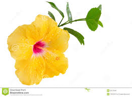Yellow Hibiscus Flowers - yellow hibiscus tropical flower on white stock image image 32175391
