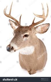 Deer Head by Deer Head Front View Stock Photo 48627325 Shutterstock