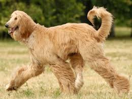 owning an afghan hound afghan hound faq frequently asked questions about afghan hounds