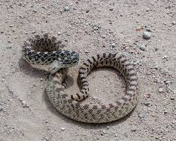colorado rattlesnakes what sportsmen should know colorado