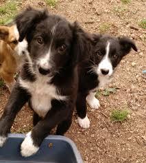 australian shepherd sheltie mix richland area rescue home facebook