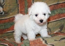 1 week old bichon frise bichon frise puppies for sale