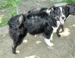australian shepherd utah rescue view ad australian shepherd dog for adoption new jersey mt
