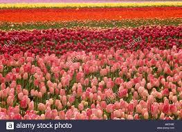 tulips tulip field fields netherlands holland flowers near stock