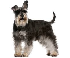 schnauzers hair cuts pet grooming products tips wahlpets com care for my dog