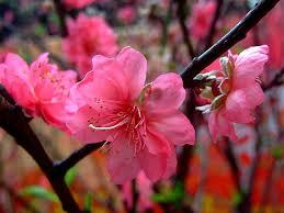 Peach Flowers Delaware State Flower Peach Blossom