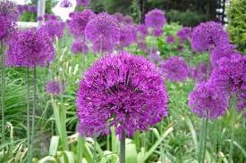 allium flowers at plant paradise country gardens botanical gardens