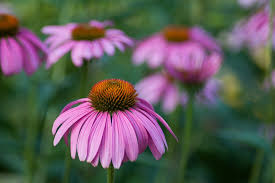 echinacea flower echinacea flower herbal free photo on pixabay