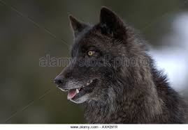 belgian shepherd timberwolf north american wolf black wolf stock photos u0026 north american wolf