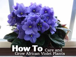 african violet grow light african violet care how to grow african violet plants