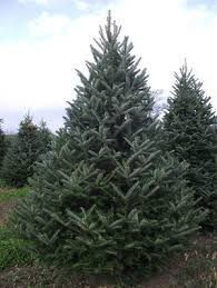 fraser fir tree about wyckoffs christmas trees