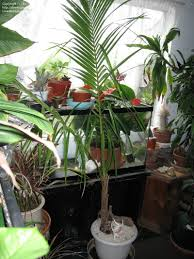 indoor palm plantfiles pictures coconut palm cocos nucifera by ginger749