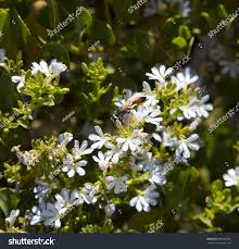 hardy native australian plants west australian native plant shining fan stock photo 360553733