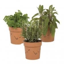 erba cipollina in vaso piante in vaso 12 produzione piante aromatiche biologiche