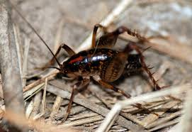 camel crickets cave crickets mdc discover nature