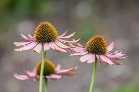 echinacea flower echinacea purpurea