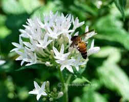 Pentas Flower White Star Cluster Flower Pentas Lanceolata