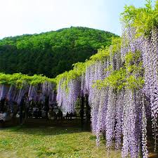 sale bonsai plant white purple wisteria tree seeds indoor