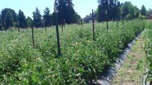trellising tomatoes weaving the first string around the ste youtube