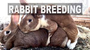 rabbit breeding shy buck syndrome youtube
